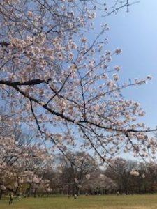 桜☆豆知識